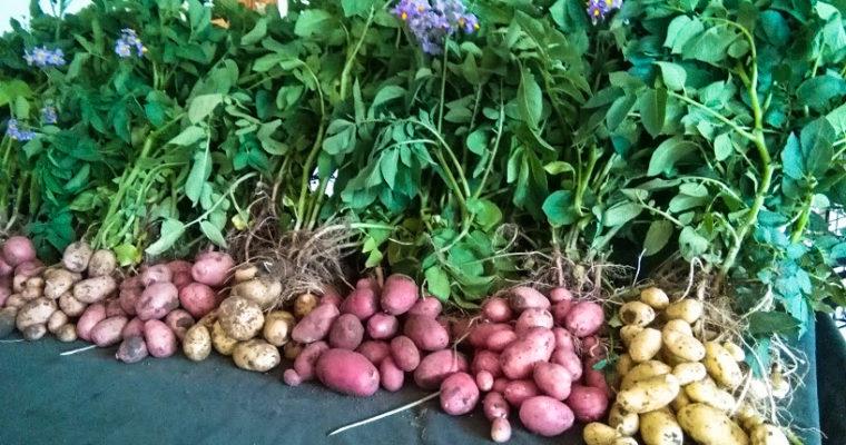 Szükség van a magyar burgonyára